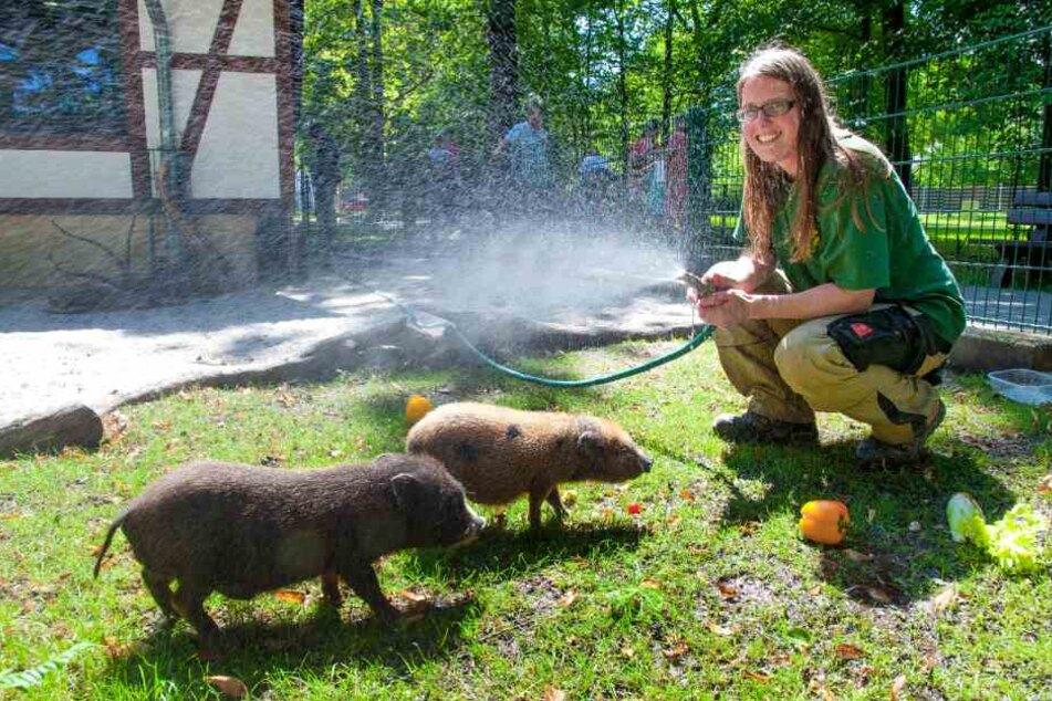 Bettina Hurgitsch (30) bespritzt die Minischweine im Chemnitzer Tierpark mit kühlem Wasser.