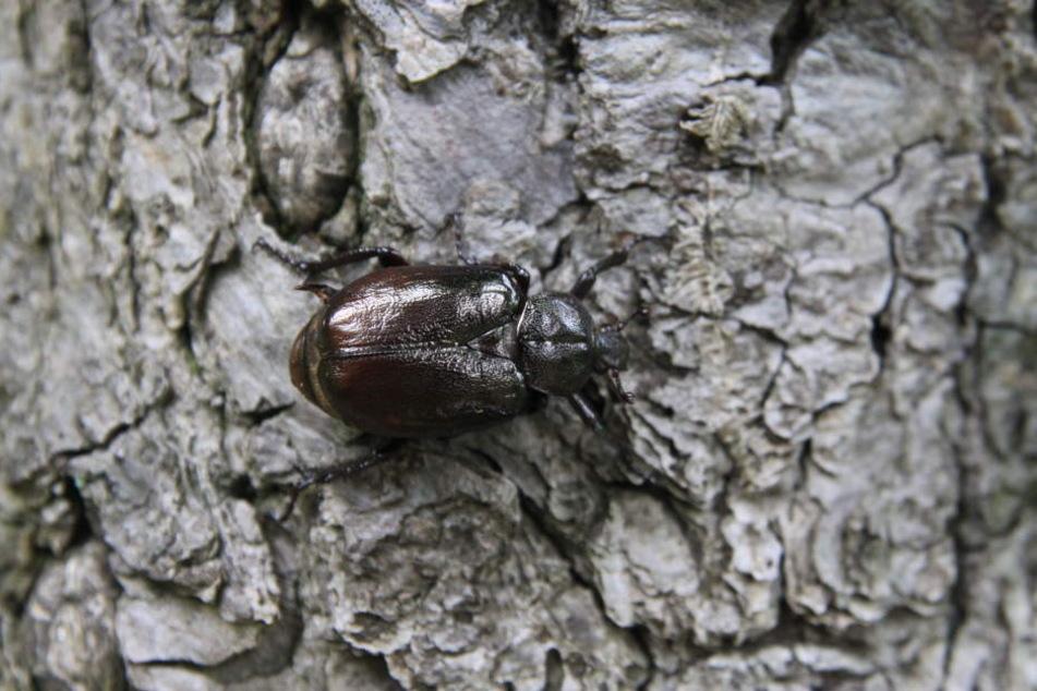 Der Eremit ist ein Käfer, der auf der roten Liste der Arten steht.