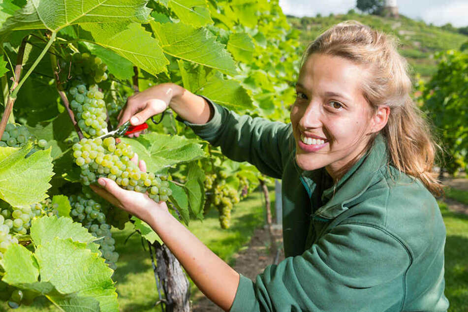 Großartige Trauben, großartiges Jahr: Auch auf Wackerbarth hat die Weinlese  schon begonnen. Hier legt Weinküferin Anna Eichhorn (21) Hand an.