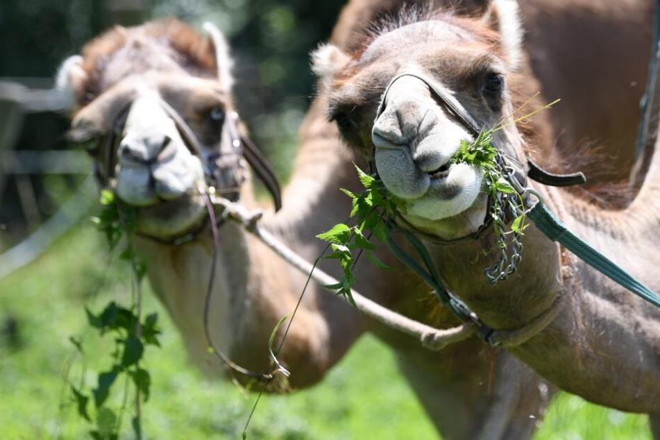 Die Kamele waren aus einem Zirkus ausgebüxt. (Symbolbild)
