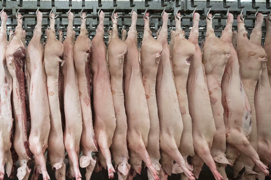 Halbierte Schweine hängen im Schlachthof.