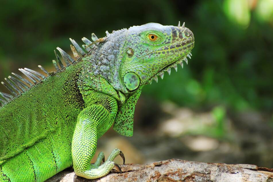 Low temperatures could cause Florida iguanas to fall out of the trees (stock image).