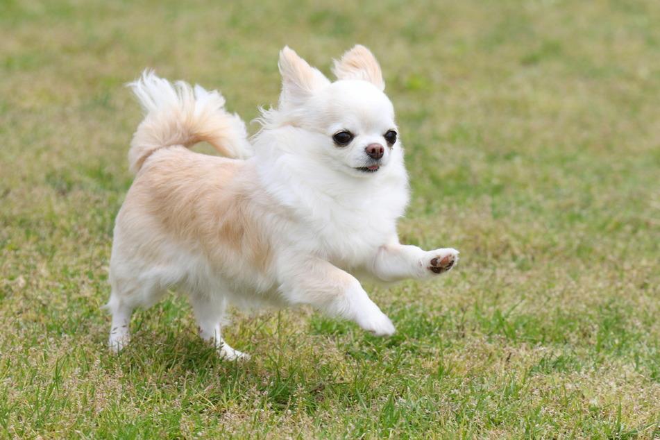 Chihuahuas gehören nicht in die Handtasche, sondern auf den Agility-Trail! Mit der richtigen Förderung können sie gehorsame, liebe Gefährten sein.