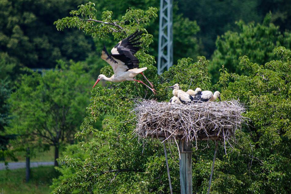 Storchen-Nachwuchs in Rochlitz: Küken werden langsam Flügge