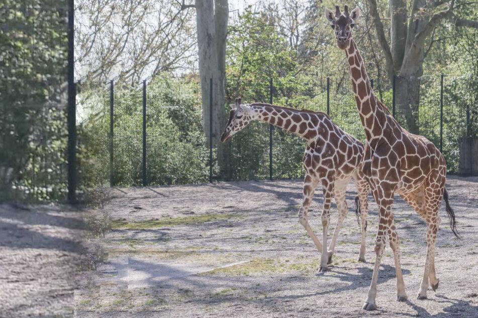 Köln: Vom Rheinland ins Ländle: Bedrohte Tierart verlässt den Kölner Zoo