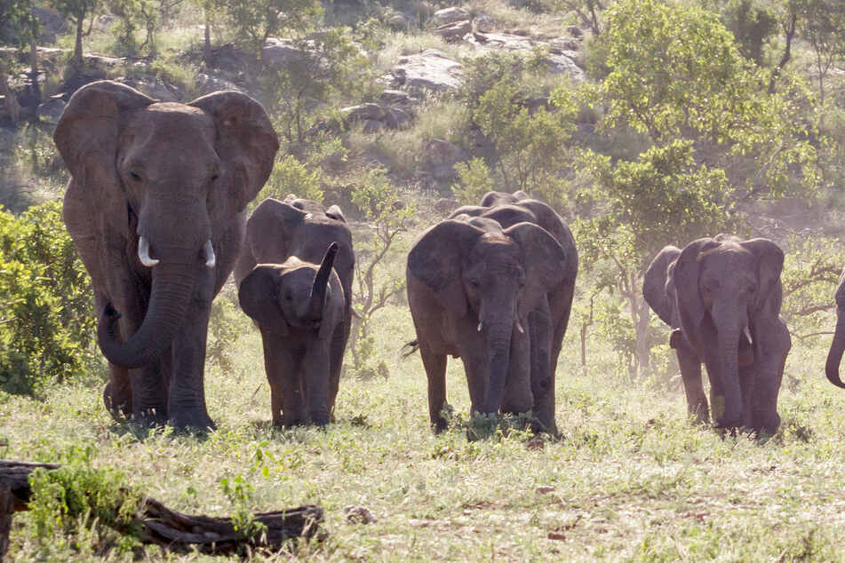 Poacher trampled to death by elephants in South African national park