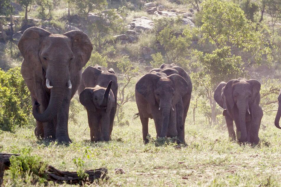 Im Nationalpark: Wilderer von Elefanten zu Tode getrampelt