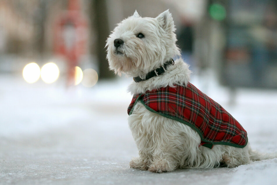 Bei niedrigen Temperaturen sollten auch Hunde beim Winterspaziergang schön warm eingepackt werden (Symbolbild).
