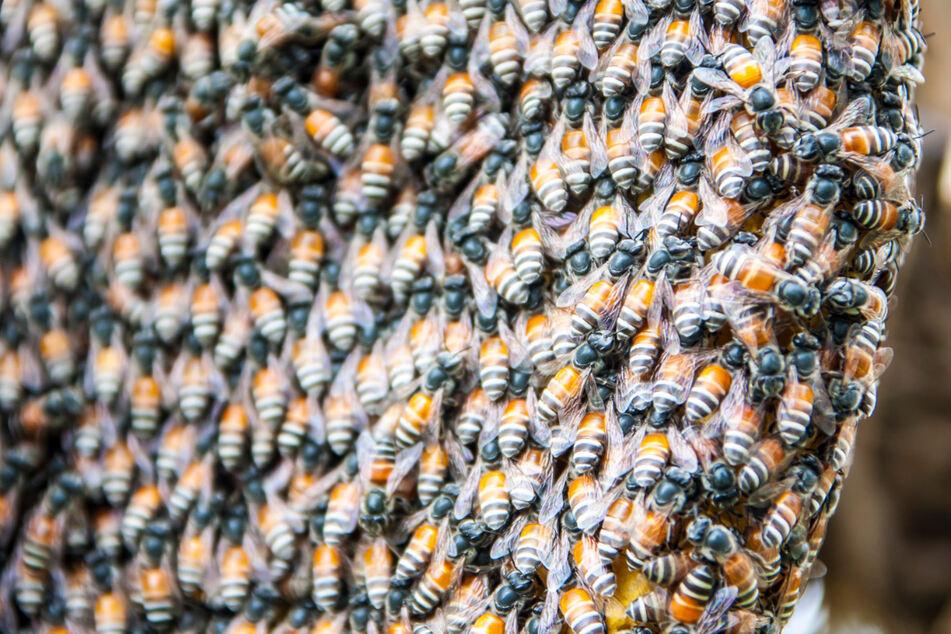 Der Imker fand Waben, Larven und Eier der Bienen. (Symbolbild)