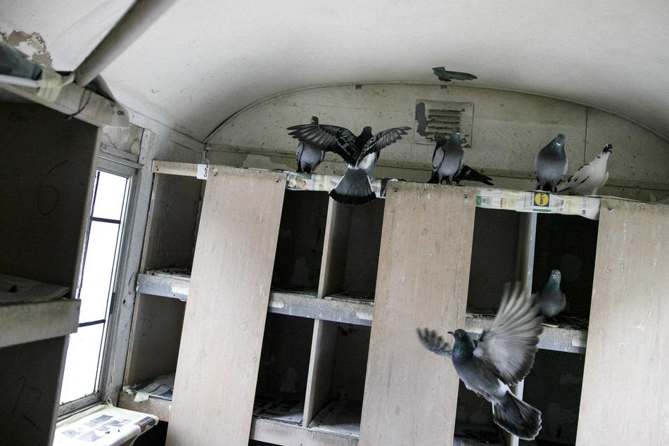 Berlin: Krank, geschwächt, verwaist: Zuhause für Problem-Tauben verzweifelt gesucht
