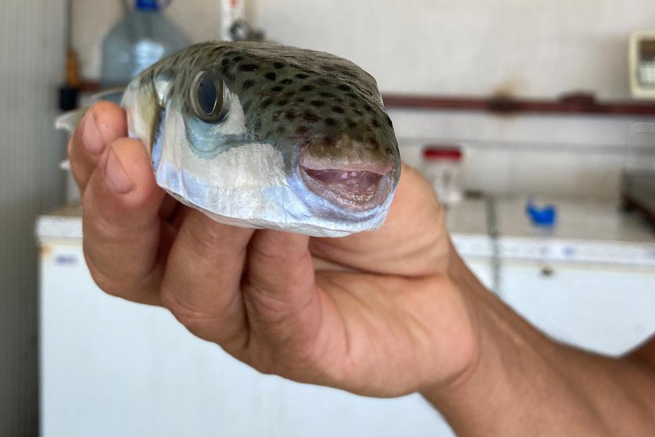 Der Hasenkopf-Kugelfisch macht den türkischen Fischern Probleme.