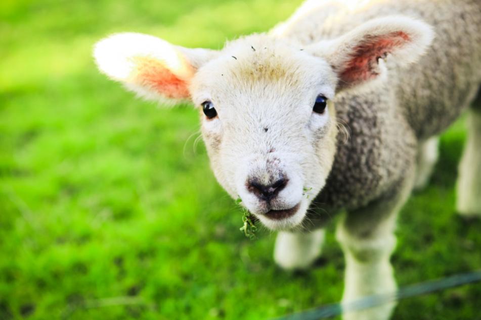 Grausame Tat in Oberbayern: Lamm auf Weide geköpft