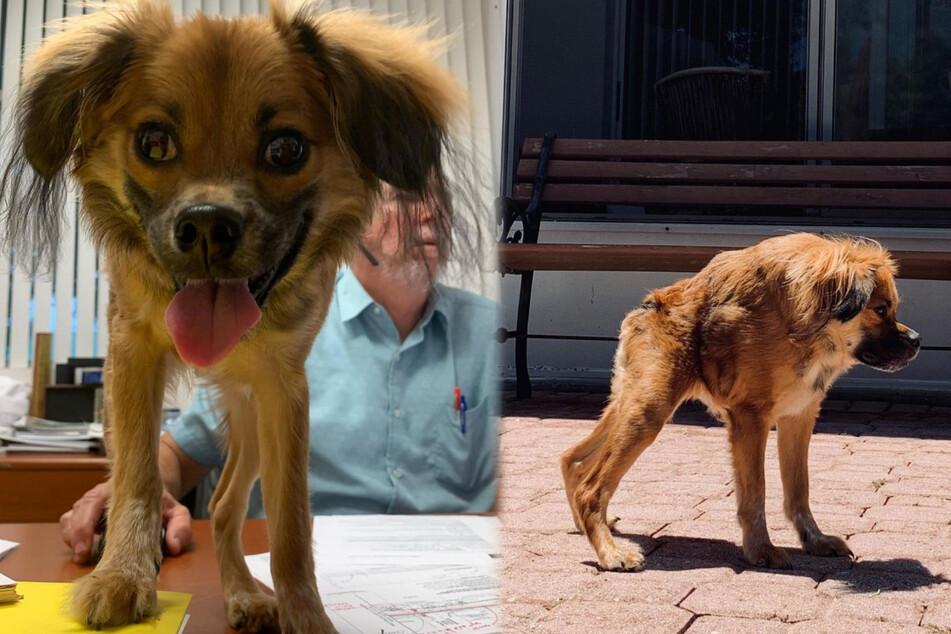 Was ist denn mit diesem kurzen Hund los? Vierbeiner leidet an seltener Krankheit