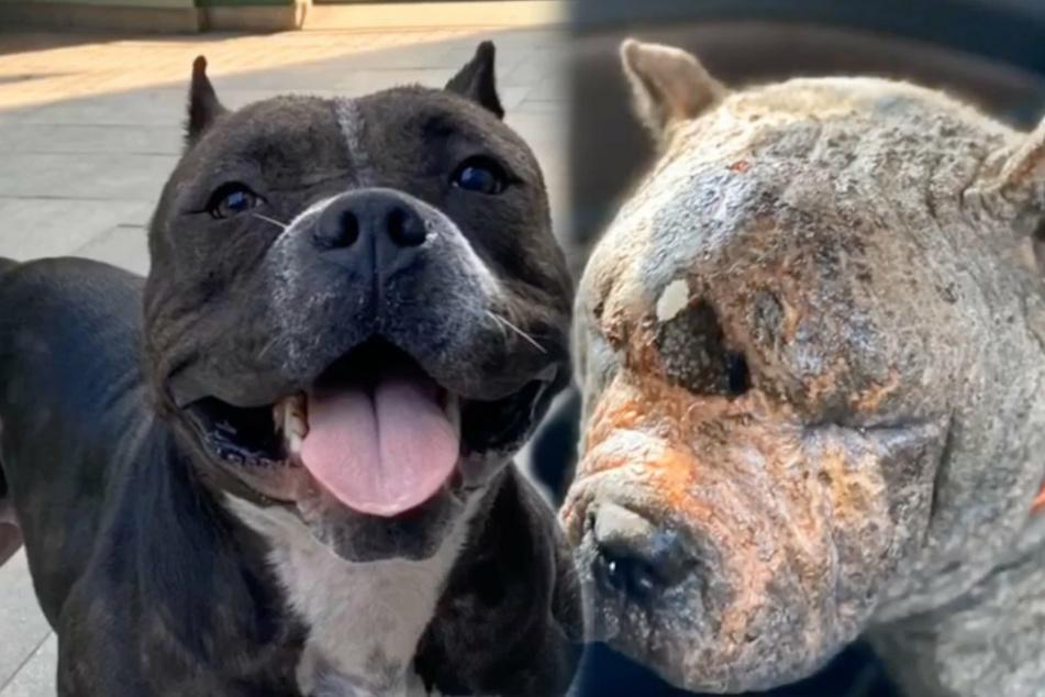 Kaum zu glauben, aber wahr: So (r) sah der Hund bei seiner Rettung aus. Wenige Monate später hechelt er glücklich in die Kamera. (l)