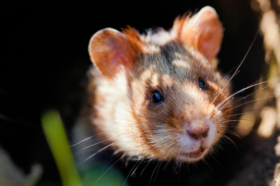Feldhamster ausgewildert: Wie geht es ihnen in der Natur?