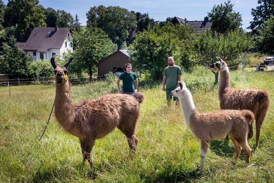 Daniel Seumel (31, r.) verleiht Lamas als Rasenmäher. Florian Mothes (23) nimmt die Hilfe der felligen Helferlein dankend an.
