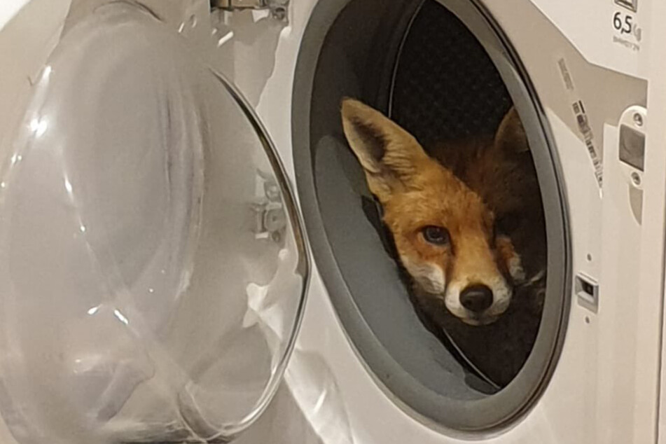 Wie ist das möglich? Frau findet lebendigen Fuchs in ihrer Waschmaschine!