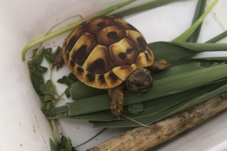 Bei dem 5 Zentimeter kleinen Tier handelt es sich um eine griechische Landschildkröte.