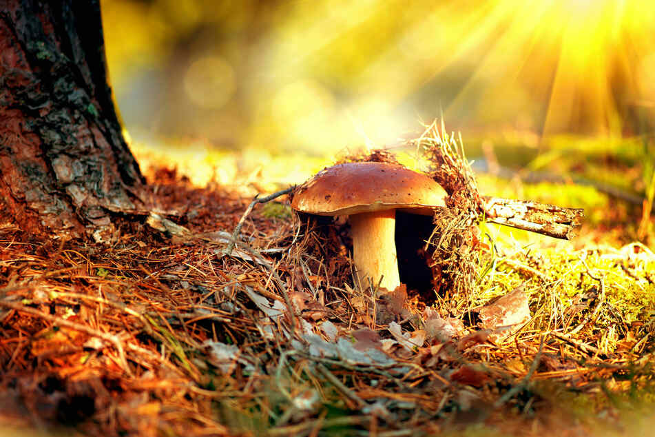 Ein Röhrling versteckt sich im Herbstwald.