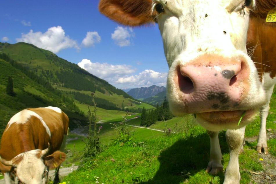 Eine Alm ist kein Streichelzoo, die Tiere sollten einfach in Ruhe gelassen werden. (Symbolbild)
