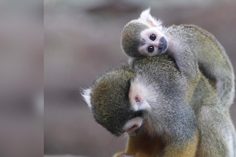 Babyboom im Affenhaus! Totenkopf-Affe Rambo beglückt 20 Mädels gleichzeitig