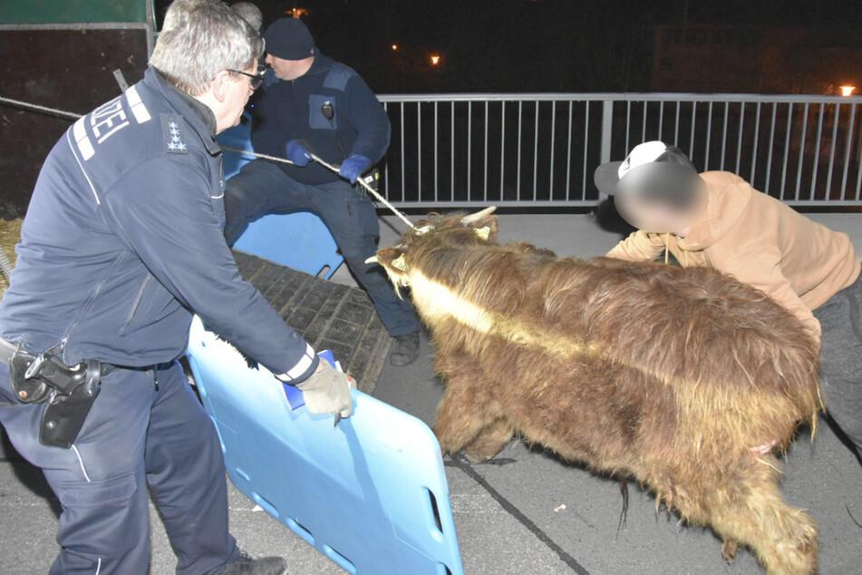 Tierischer Einsatz: Polizisten fangen Hochlandrinder wieder ein