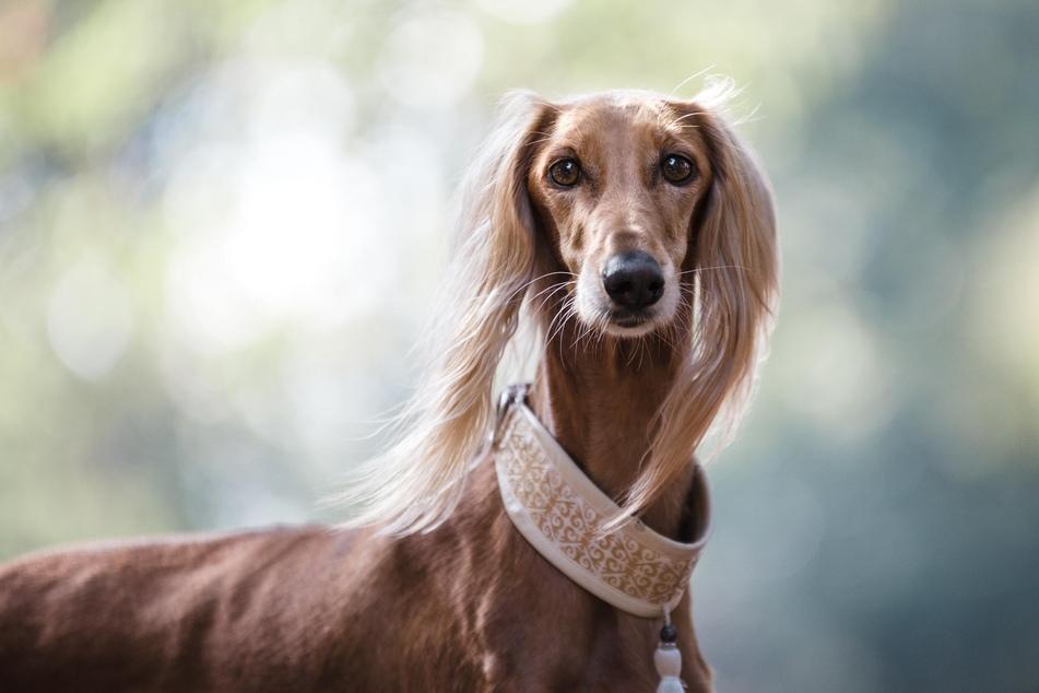 Salukis gehören auch zu den schnellsten Hunderassen der Welt.