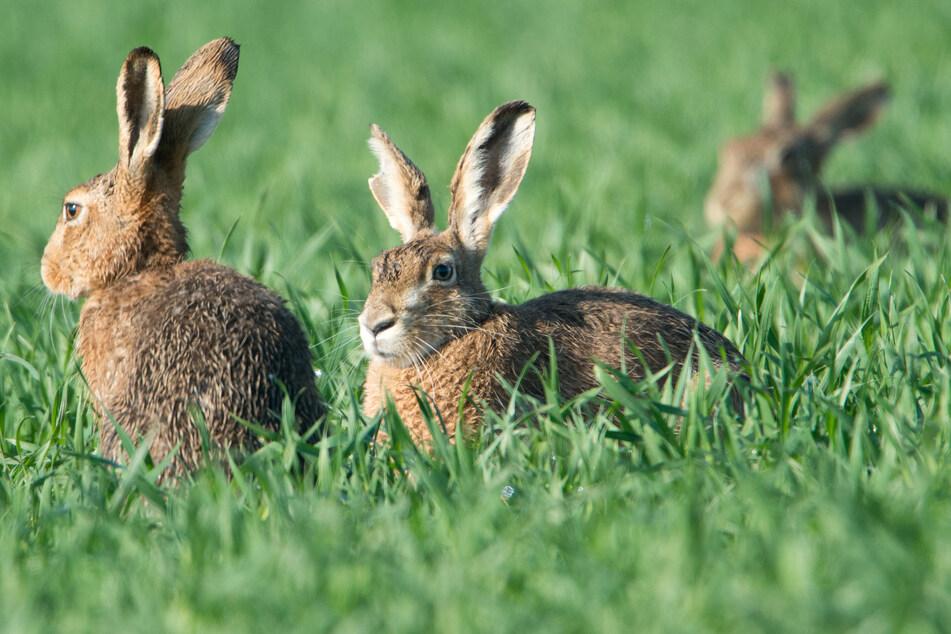 Tierschützer sorgen sich um den heimischen Feldhasen
