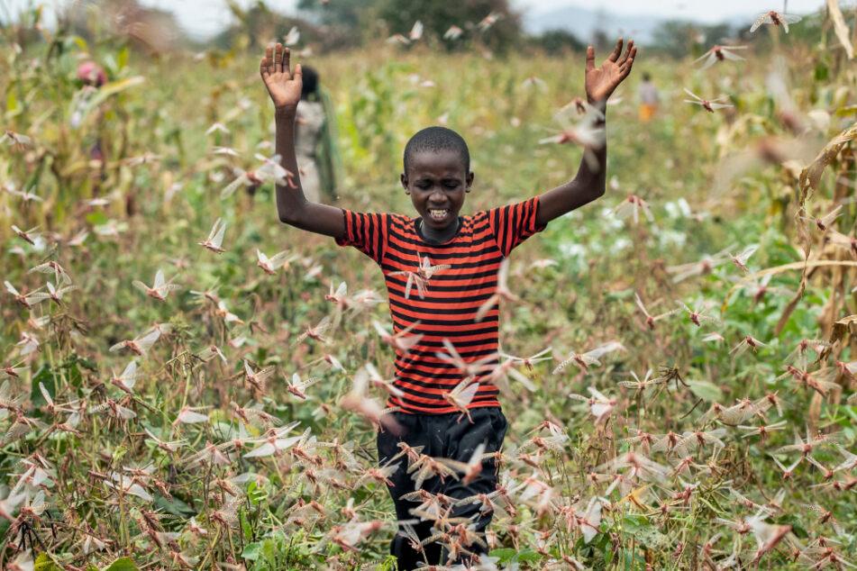 Kenia, Januar 2020: Der Sohn eines Bauern versucht einen Schwarm Wüstenheuschrecken von einem Feld zu vertreiben.