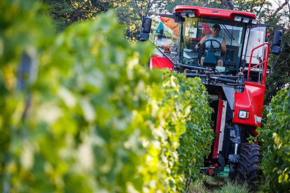 Wein-Alarm: Kleinste Ernte in Baden-Württemberg seit 30 Jahren