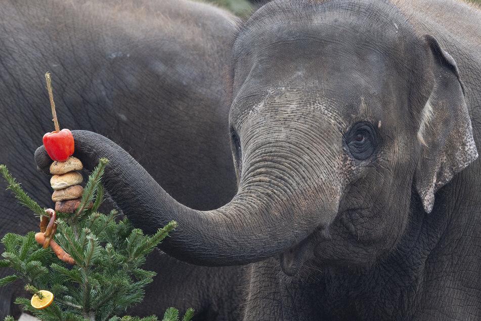 Ein Elefant lässt sich einen gespickten Weihnachtsbaum schmecken (Symbolfoto).
