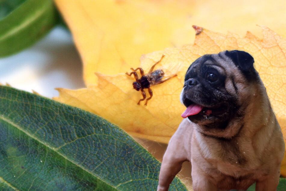 Hirschlausfliege: Fliegende Zecke lauert im Wald auf Deinen Hund