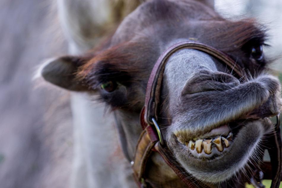 Ein Kamel hat zwei Frauen gebissen. (Symbolbild)