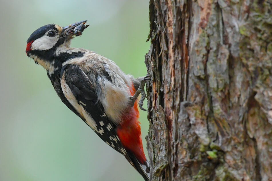 Ein Buntspecht (Dendrocopos major), hier ein Männchen zu erkennen am roten Fleck am hinteren Kopf, kommt mit Nahrung für den Nachwuchs zurück zur Bruthöhle in einem Baum.