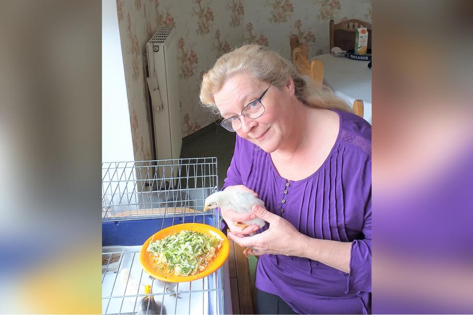"""Der Küken-Kindergarten wurde von Freunden """"Chickago"""" getauft: Unternehmensberaterin Beatrix Rudolph (58) füttert den flauschigen Nachwuchs mit """"Starterfutter"""" mit Getreide und Mineralstoffen."""