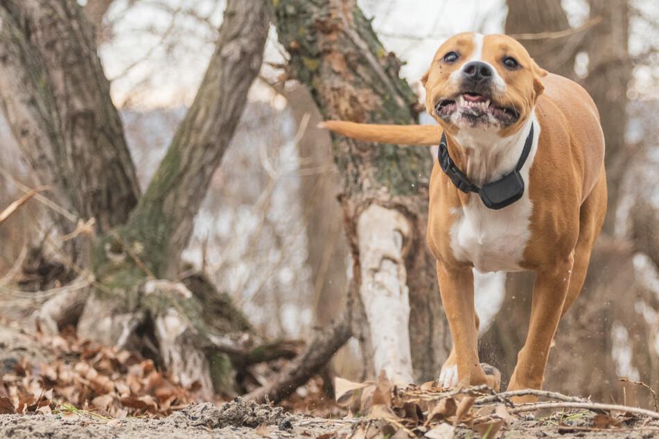 Kampfhunde töten anderen Hund und beißen eigenes Herrchen