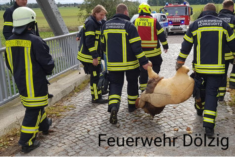 Feuerwehr wird wegen Rinderkadavers alarmiert, doch stattdessen treffen sie auf einen Löwen!