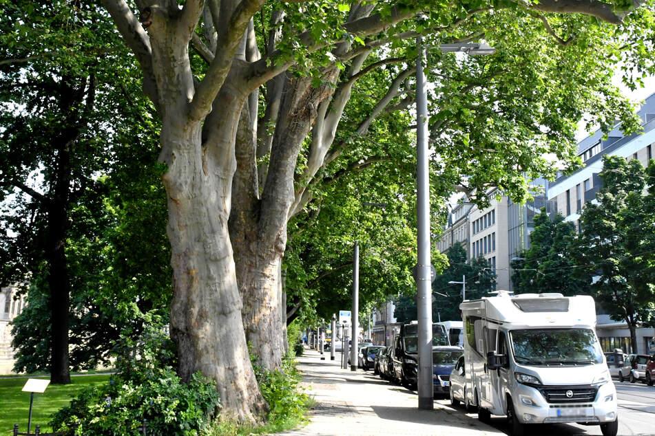 Platanen, wie hier am Zwinger, werden von der Stadt als Klimawandel-Reaktion wieder vermehrt gepflanzt. Denn die Bäume mit ihrem weit verzweigten Wurzelnetzwerk sind recht dürrerobust.