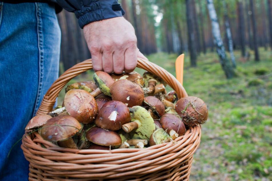 Immer wieder finden Pilzsammler Leichen. (Symbolbild)