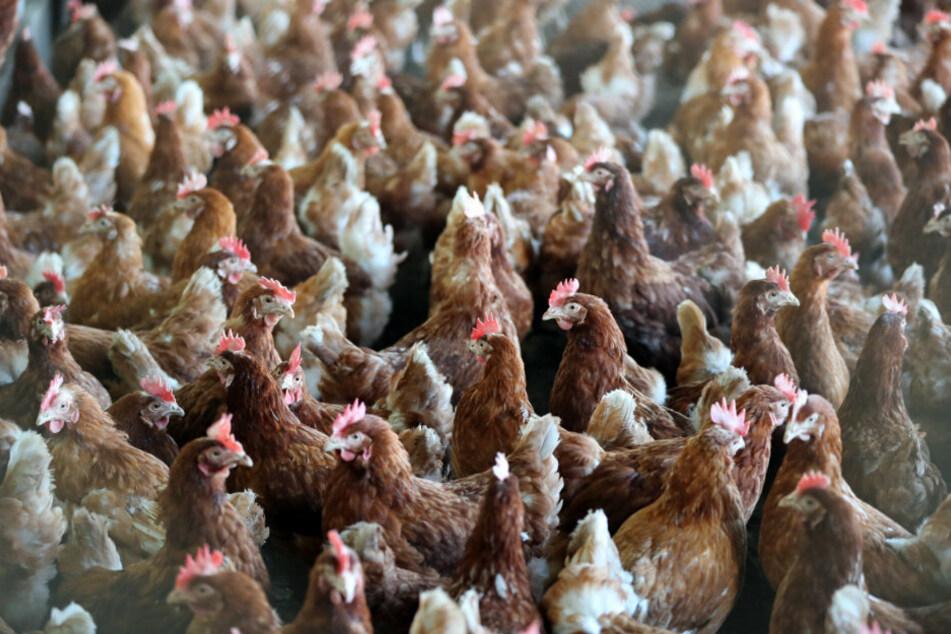 Hühner in einem Stall auf einem Geflügelhof. (Archivbild)