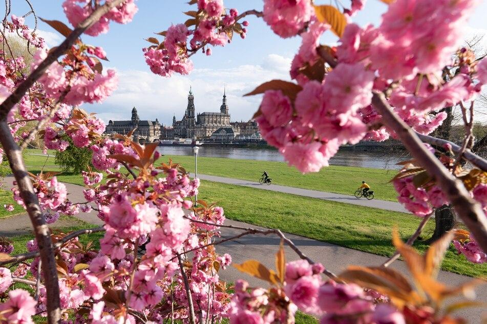 Frühlingswetter in Dresden: Eine Zierkirsche blüht am Ufer der Elbe vor der Kulisse der barocken Altstadt.