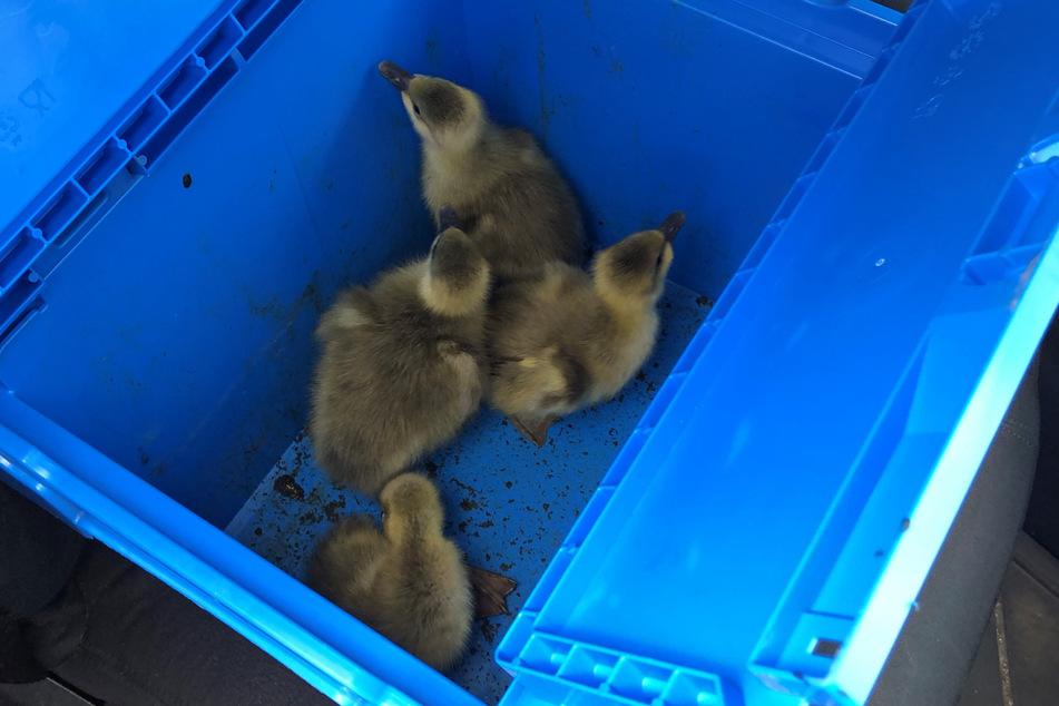 Diese Gänseküken transportierte die Autobahnpolizei in den sicheren Garten einer Tierschutzorganisation.