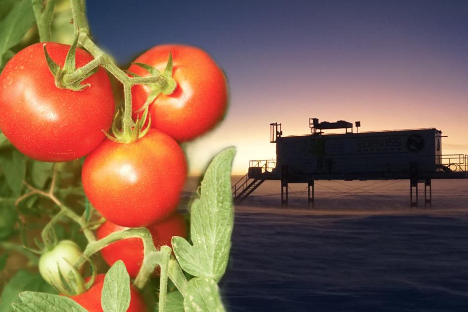 Gemüsezucht bei Minus 45 Grad: Tomaten und Gurken aus der Antarktis