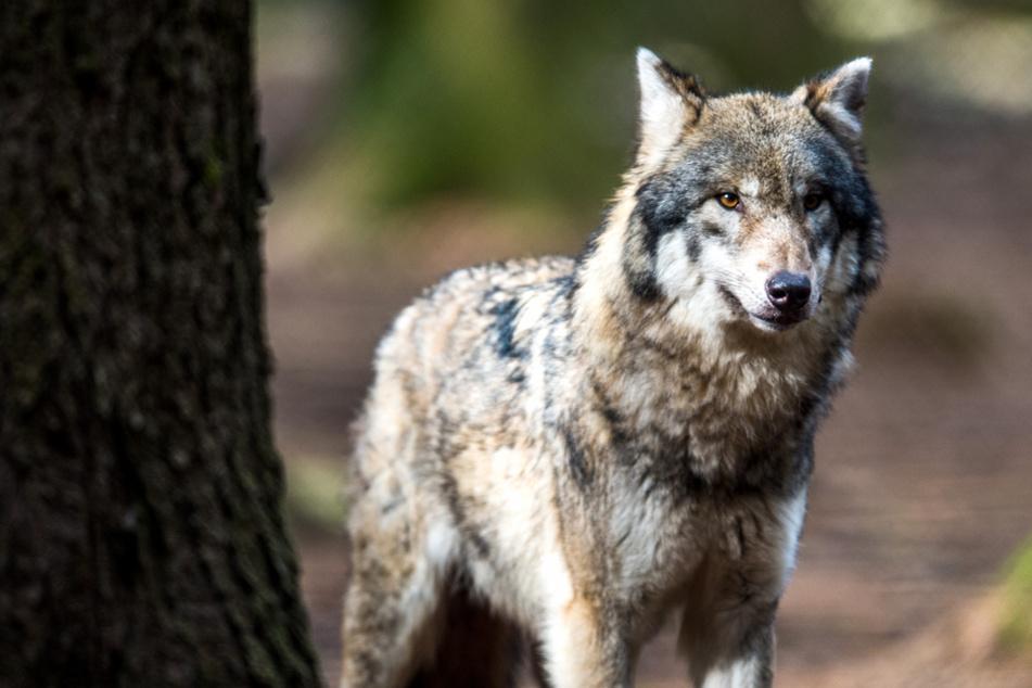 Totes Schaf: Nächster Wolf in NRW nachgewiesen