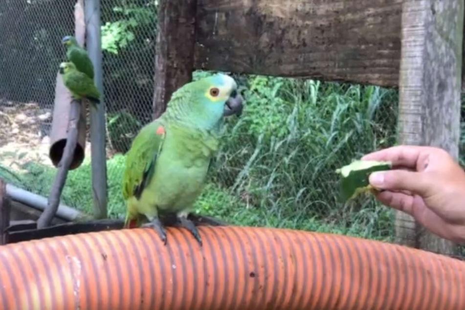 Dieser Papagei war Mitglied einer Drogendealer-Bande.