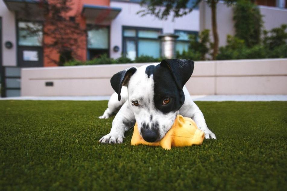Wenn der Hund darauf herumkaut, werden die Schadstoffe im Spielzeug freigesetzt.