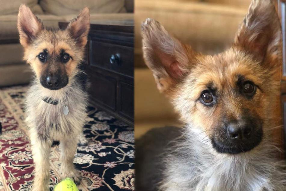 Warum sieht dieser Hund nach zwei Jahren noch wie ein Welpe aus?