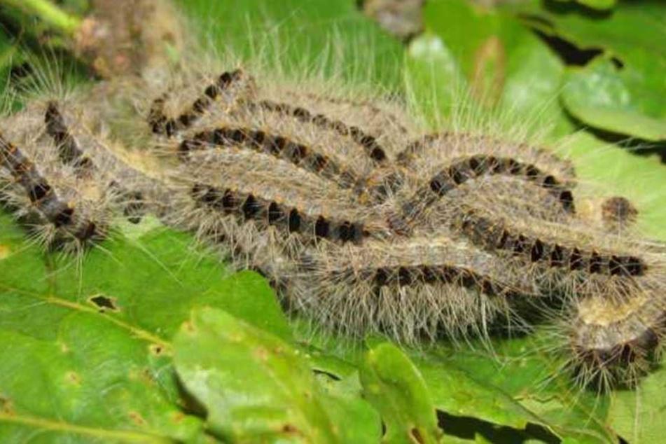 Die Gifthaare der Rauben sind extrem gefährlich. Diese Exemplare wurden Mitte Mai in Dresden-Klotzsche entdeckt.