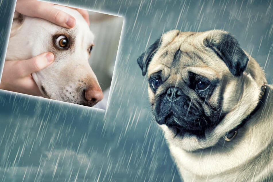 Cry me a retriever: the truth behind dog tears revealed