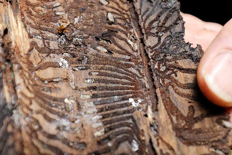 So sieht die Rinde aus, wenn ein Borkenkäfer (kl. F.) einen Baum befallen hat.